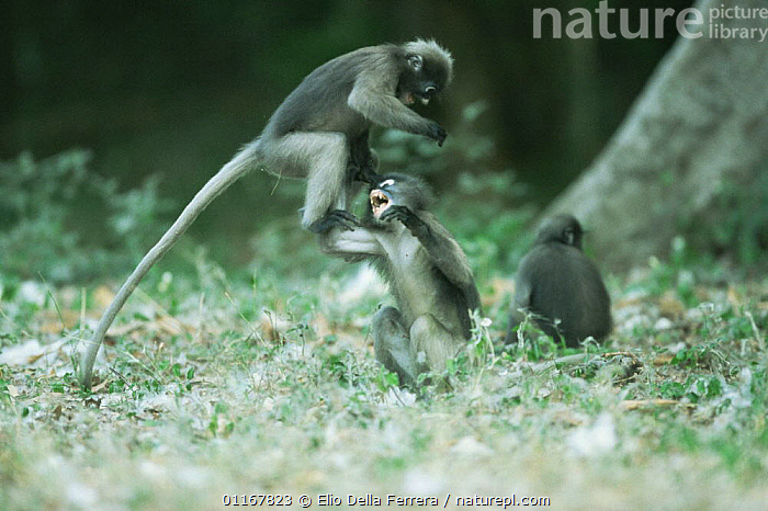 Two juvenile Dusky Leaf Monkeys (Trachypithecus obscurus) leaping into the air whilst playing, Thailand 1996  ,  BEHAVIOUR,CUTE,FORESTS,JUVENILE,LANGURS,LEAF MONKEYS,MAMMALS,PLAY,PRIMATES,SOUTH EAST ASIA,SPECTACLED LEAF MONKEY,THAILAND,VERTEBRATES,Asia,Communication  ,  Elio Della Ferrera