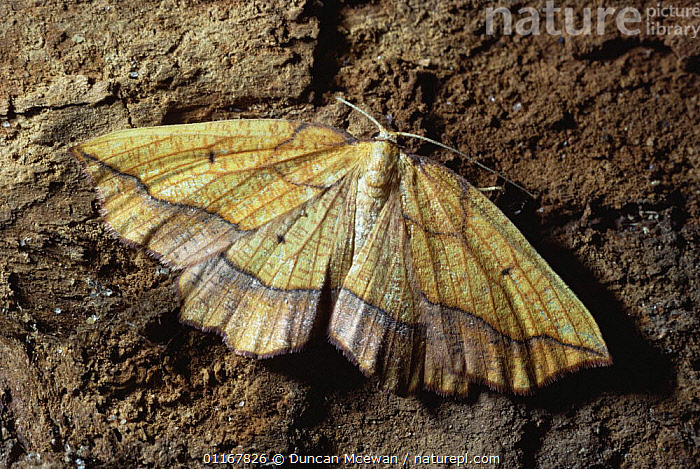 Bordered beauty moth {Epione repandaria} Scotland, UK  ,  EUROPE,INSECTS,INVERTEBRATES,LEPIDOPTERA,LOOPER MOTHS,MOTHS,SCOTLAND,UK,United Kingdom,British  ,  Duncan Mcewan