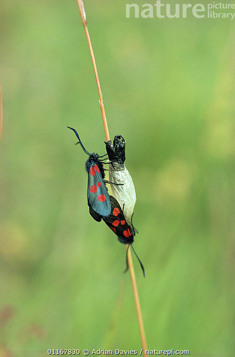 Six spot burnet moth {Zygaena filipendulae} mating pair on cocoon from which female has just emerged, UK  ,  BURNET MOTHS,CHRYSALIS,EUROPE,INSECTS,INVERTEBRATES,LEPIDOPTERA,MALE FEMALE PAIR,MATING BEHAVIOUR,MOTHS,UK,VERTICAL,United Kingdom,Reproduction,British  ,  Adrian Davies