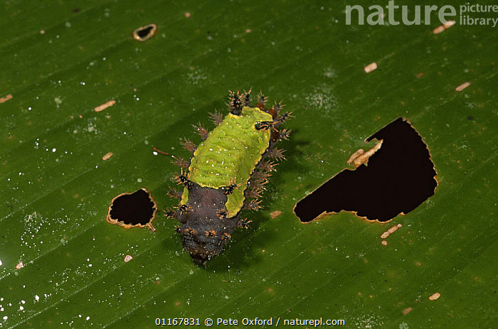 Caterpillar larva of Shag moth {Acharia sp} Madre de Dios, Peru  ,  CATERPILLAR MOTHS,INSECTS,INVERTEBRATES,LARVAE,LEPIDOPTERA,MOTHS,SOUTH AMERICA,TROPICAL RAINFOREST  ,  Pete Oxford