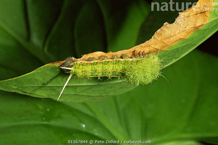 Caterpillar larva of moth, with defensive spines, Amazonia, Ecuador  ,  CRYPTIC,GREEN,INSECTS,LARVAE,LEPIDOPTERA,MOTHS & BUTTERFLIES,SOUTH AMERICA,TROPICAL RAINFOREST,Invertebrates  ,  Pete Oxford