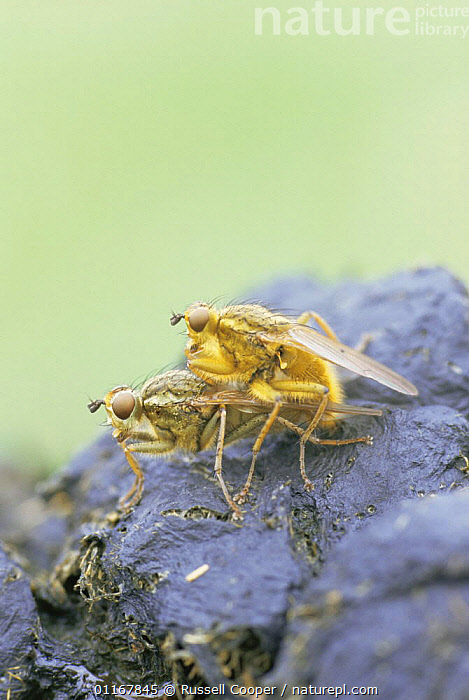 Yellow dungflies {Scathophagia stercoraria} pair mating, UK  ,  ARTHROPODS,DIPTERA,DUNGFLY,EUROPE,FAECES,FLIES,INSECTS,INVERTEBRATES,MALE FEMALE PAIR,REPRODUCTION,UK,VERTICAL,United Kingdom,British  ,  Russell Cooper