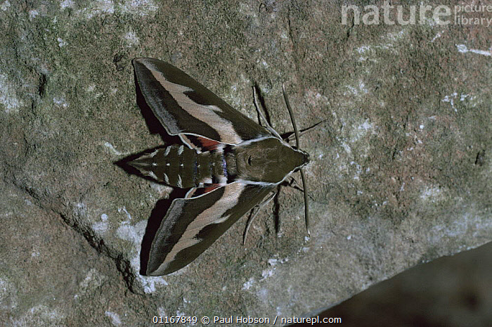 Bedstraw hawkmoth {Hyles galii} UK  ,  EUROPE,HAWKMOTHS,INSECTS,INVERTEBRATES,LEPIDOPTERA,MOTHS,UK,VERTICAL,United Kingdom,British  ,  Paul Hobson