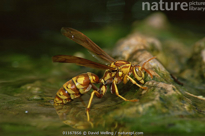 South Texas paper wasp {Polistes apachus} drinking, Texas, USA  ,  BEHAVIOUR,HYMENOPTERA,INSECTS,INVERTEBRATES,NORTH AMERICA,PAPER WASPS,USA,WASPS,WATER  ,  David Welling