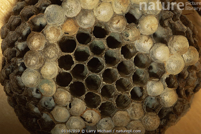 Wasp nest of Paper wasp {Polistes fuscatus} USA  ,  HYMENOPTERA,INSECTS,INVERTEBRATES,NESTS,NORTH AMERICA,PAPER WASPS,USA,WASPS  ,  Larry Michael