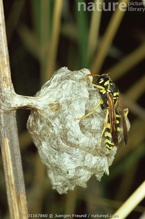 Paper wasp on nest, Germany  ,  EUROPE,GERMANY,HYMENOPTERA,INSECTS,INVERTEBRATES,NESTS,PAPER WASPS,WASPS  ,  Jurgen Freund