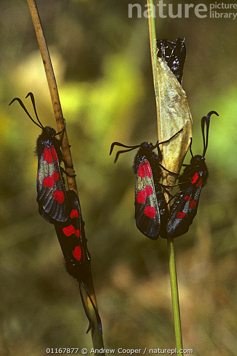 Six spot burnet moths (Zygaena filipendulae) adults mating on emergence from pupae, Wiltshire, UK  ,  BURNET MOTHS,CHANNEL ISLES,CHRYSALIS,EUROPE,GROUPS,INSECTS,INVERTEBRATES,LEPIDOPTERA,MALE FEMALE PAIR,MATING BEHAVIOUR,METAMORPHOSIS,MOTHS,UK,VERTICAL,United Kingdom,Reproduction,Growth,British,Concepts  ,  Andrew Cooper