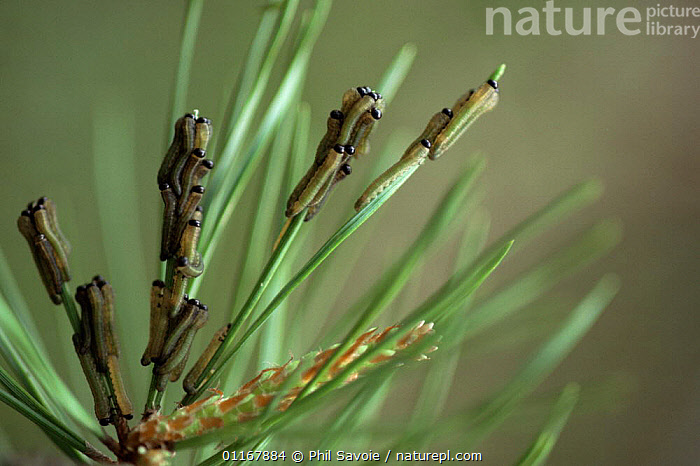 Sawfly larvae {Tenthredo genus} on Scots pine needles, Connecticut, USA  ,  ARTHROPODS,CATERPILLAR,CATERPILLARS,GROUPS,HYMENOPTERA,INSECTS,INVERTEBRATES,NORTH AMERICA,SAWFLIES,USA,Larvae  ,  Phil Savoie