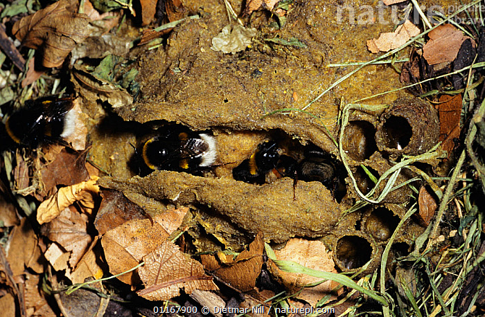 Buff tailed bumble bees {Bombus terrestris} in nest on ground, Germany  ,  ARTHROPODS,BEES,BEHAVIOUR,BUMBLEBEES,EUROPE,GERMANY,HOMES,HYMENOPTERA,INSECTS,INVERTEBRATES,NESTS  ,  Dietmar Nill
