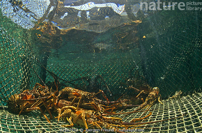 Spiny lobsters (Panulirus argus) in trap, Caribbean  ,  ARTHROPODS,COMMERCIAL,CRUSTACEANS,FISHING,GROUPS,HUNTING FOOD,INVERTEBRATES,LOBSTER,LOBSTERS,MARINE,TRAPS,TROPICAL,TROPICS,West Indies  ,  Jurgen Freund