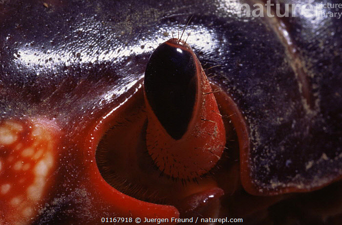 Close up of eye of Christmas Island red crab {Gecarcoidea natalis} Christmas Is, Indian Ocean  ,  ARTHROPODS,CLOSE UPS,CRABS,CRUSTACEANS,EYES,INDIAN OCEAN ISLANDS,INVERTEBRATES,LAND CRABS,Marine  ,  Jurgen Freund