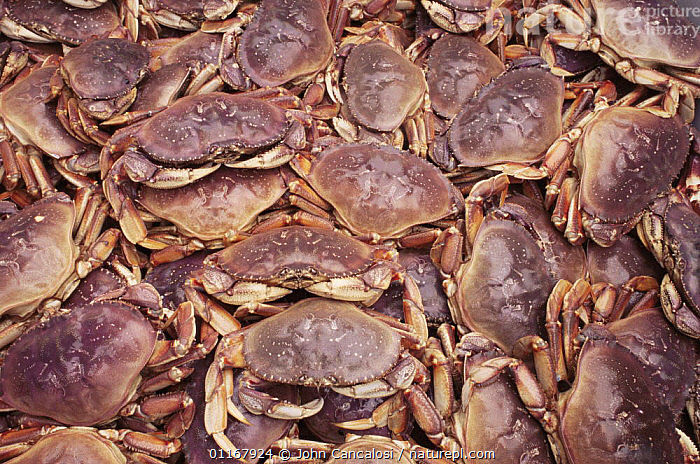 Dungeness crab {Cancer magister}. Caught crabs in fishing tank, Alaska, USA  ,  CRUSTACEANS, HARVESTING, INVERTEBRATES, PACIFIC, ARTHROPODS, CRABS, GROUPS, MARINE, TEMPERATE, USA,North America  ,  John Cancalosi