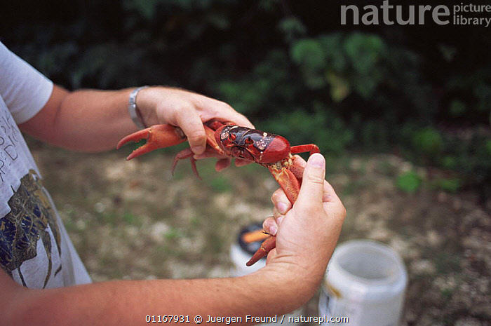 Scientist examines Christmas Island red crab {Gecarcoidea natalis} Christmas Is, Indian Ocean  ,  ARTHROPODS,CRABS,CRUSTACEANS,INDIAN OCEAN ISLANDS,INVERTEBRATES,LAND CRABS,PEOPLE,RESEARCH,SCIENCE  ,  Jurgen Freund