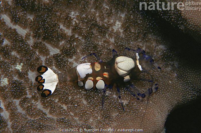 Anemone shrimp {Periclimenes brevicarpalis} with colouring for camouflage in anemone, Indo Pacific  ,  ARTHROPODS,CRUSTACEANS,INDO PACIFIC,INVERTEBRATES,MARINE,SHRIMPS,TROPICAL,UNDERWATER  ,  Jurgen Freund