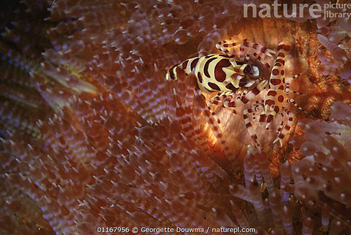 Sea urchin / Coleman's shrimp {Periclimenes colemani} male and female in Fire sea urchin,  Indo Pacific  ,  ARTHROPODS,CRUSTACEANS,ECHINODERMS,INDO PACIFIC,INVERTEBRATES,MALE FEMALE PAIR,MARINE,SEA URCHINS,SHRIMPS,SYMBIOSIS,TROPICAL,UNDERWATER,VERTICAL,Concepts,Partnership  ,  Georgette Douwma