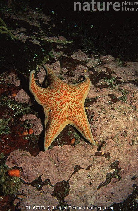Leather sea star {Dermasterias imbricata} pacific, Canada  ,  ASTEROIDEA,ECHINODERMS,INVERTEBRATES,MARINE,NORTH AMERICA,SEA STARS,STARFISH,TEMPERATE,UNDERWATER,VERTICAL  ,  Jurgen Freund