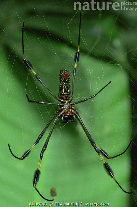 Golden silk spider {Nephila clavipes} Costa rica  ,  ARACHNIDS,ARTHROPODS,CENTRAL AMERICA,INVERTEBRATES,ORB WEAVER SPIDERS,SPIDERS,TROPICAL RAINFOREST,VERTICAL  ,  TIM MARTIN