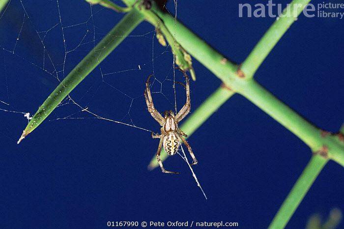 Orb web spider {Neoscona cooksoni / oaxacensis} on web, Galapagos  ,  ARACHNIDS, ARTHROPODS, GALAPAGOS, INVERTEBRATES, ORB-WEAVER-SPIDERS, SPIDERS  ,  Pete Oxford