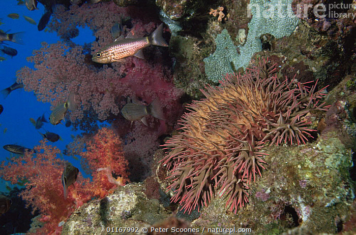 Crown of thorns starfish {Acanthaster planci} on coral reef, Indo pacific  ,  ASTEROIDEA,CORAL REEFS,ECHINODERMS,FISH,INDO PACIFIC,INVERTEBRATES,LANDSCAPES,MARINE,PESTS,SEA STAR,SEA STARS,STARFISH,TROPICAL,UNDERWATER,VERTICAL, Starfish  ,  Peter Scoones