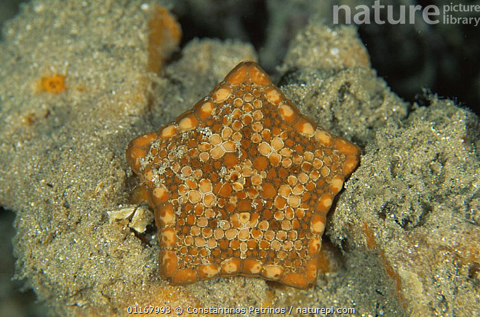 Southern biscuit star {Tosia australis} Kangaroo Is, Australia  ,  ASTEROIDEA,ECHINODERMS,FIVE SIDED,INVERTEBRATES,MARINE,SEA STARS,STARFISH,TROPICAL,UNDERWATER  ,  Constantinos Petrinos