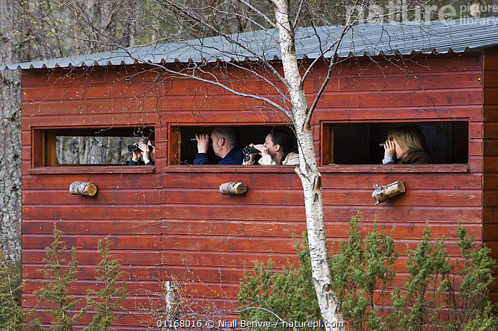 People in a hide using binoculars to watch for Eurasian Beavers (Castor fiber) at a re-introduction site, Aigas, Scotland UK  ,  BEAVERS,BUILDINGS,CONSERVATION,EUROPE,HIDES,MAMMALS,PEOPLE,REINTRODUCTION,RODENTS,SCOTLAND,UK,VERTEBRATES,United Kingdom,British  ,  Niall Benvie