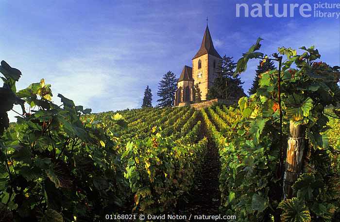 Church in vineyard nr Hunawihr, Alsace, France  ,  AGRICULTURE,COUNTRYSIDE,EUROPE,FARMING,GRAPES,GREEN,LANDSCAPES,PLANTS,TREES,VINES,VINEYARDS  ,  David Noton
