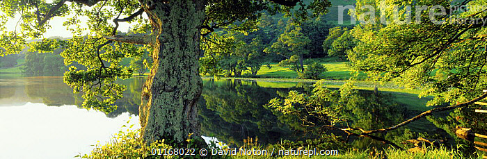 Loughrigg Tarn in summer, nr Ambleside, Lakes District National Park, Cumbria, England, UK  ,  COUNTRYSIDE,EUROPE,LAKES,LANDSCAPES,NP,PANORAMIC,PEACEFUL,REFLECTIONS,SUMMER,TREES,UK,WATER,United Kingdom,Concepts,Plants,British,National Park,ENGLAND  ,  David Noton