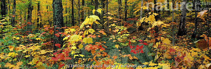 Autumn colours in the Saco Valley, White Mountains, New Hampshire, USA  ,  AUTUMN,FORESTS,LANDSCAPES,LEAVES,NORTH AMERICA,PANORAMIC,TREES,Plants,ENGLAND  ,  David Noton