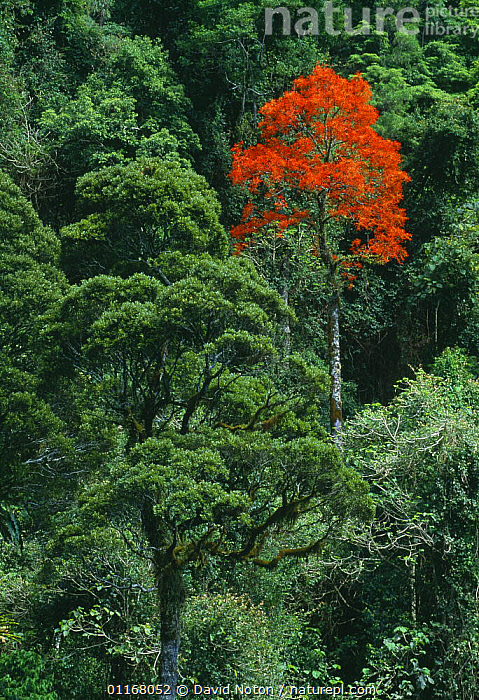 Red flowering tree, Barrington Tops National Park, New South Wales, Australia  ,  AUSTRALIA,CANOPY,COUNTRYSIDE,FORESTS,GROWTH,LANDSCAPES,NP,RAINFOREST,TREES,TREETOPS,TROPICAL,VERTICAL,WOODLANDS,Concepts,Plants,National Park,Europe,WALES  ,  David Noton