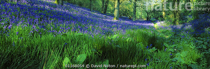 Bluebell woods in flower, nr Batcombe, Dorset, England, UK  ,  BLUE,BLUEBELLS,EUROPE,FLOWERS,FOLIAGE,FORESTS,LANDSCAPES,PANORAMIC,SPRING,TREES,UK,WOODLANDS,United Kingdom,Plants,British,ENGLAND  ,  David Noton