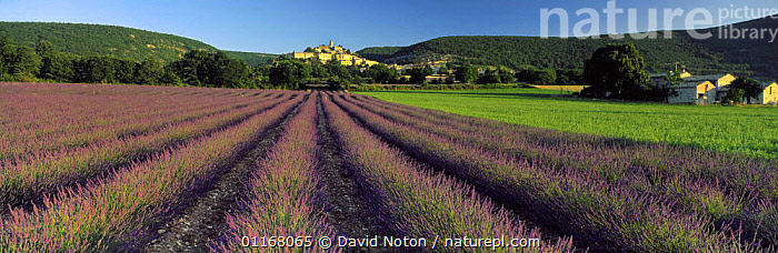 Lavender field & hilltop village of Bagnon, Provence, France  ,  AGRICULTURE,BUILDINGS,COUNTRYSIDE,EUROPE,FIELDS,FLOWERS,LANDSCAPES,PANORAMIC,PURPLE,LAVANDULA  ,  David Noton