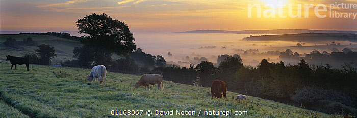 Cows in a field above the Blackmore Vale, Dorset, UK  ,  AGRICULTURE,CATTLE,EUROPE,FARMLAND,HILLSIDE,LIVESTOCK,MIST,SUNSET,TREES,UK,VALE,VALLEY,VALLEYS,United Kingdom,Plants,British,ENGLAND  ,  David Noton