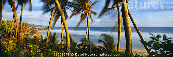 Bathsheba, East Coast, Barbados  ,  ATLANTIC,BARBADOS,BEACHES,CARIBBEAN,COASTS,EXOTIC,ISLANDS,LANDSCAPES,PANORAMIC,PEACEFUL,PLAM TREES,TREES,TROPICAL,WAVES,WIND,West Indies,Concepts,Weather,Plants,LESSER ANTILLES  ,  David Noton