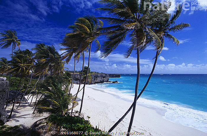 Palm trees at Bottom Bay, South East Coast, Barbados  ,  ANTILLES,ATLANTIC,BARBADOS,BEACH,BEACHES,CARIBBEAN,COASTS,EXOTIC,ISLANDS,LANDSCAPES,OCEAN,PALM TREES,PARADISE,PEACEFUL,TRAVEL,TREES,WIND,West Indies,Concepts,Weather,Plants,LESSER ANTILLES  ,  David Noton