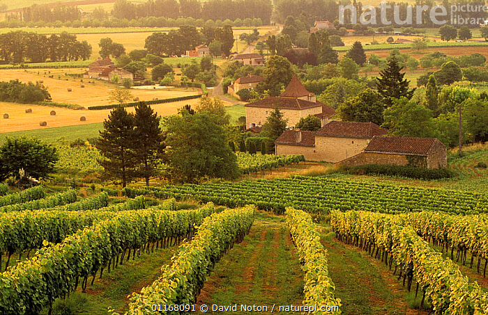 Vineyards nr Cahors, Lot Valley, Perigord, France  ,  AGRICULTURE,ATMOSPHERIC,BUILDINGS,COUNTRYSIDE,EUROPE,FARMLAND,FRANCE,GRAPEVINES,LANDSCAPES,SHRUBS,SUMMER,TREES,VINES,VINEYARDS,Plants  ,  David Noton