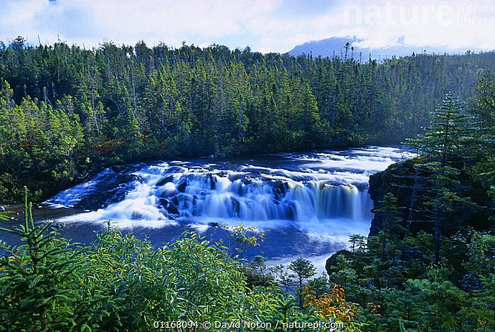 Baker's Brooks Falls, Gros Morne National Park, Newfoundland, Canada  ,  CANADA,COUNTRYSIDE,FOREST,FORESTS,LANDSCAPES,NATURE,NORTH AMERICA,NP,RIVERS,ROCKS,TREES,WATER,WATERFALLS,WOODLANDS,Plants,National Park  ,  David Noton
