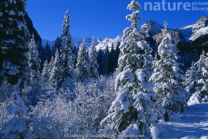 Winter snow scene near Lake Louise, Rockies, Banff National Park, Alberta, Canada  ,  COLD,CONIFERS,EVERGREENS,FORESTS,FROZEN,LANDSCAPES,NORTH AMERICA,PICTURESQUE,SCENIC,SNOW,SPRUCE,TRAVEL,TREES,WINTER,WOODLANDS,Plants,CANADA,,Canadian Rocky Mountain Parks World Heritage Site, UNESCO World Heritage Site,Rocky Mountains,Rockies,NP,Reserve,  ,  David Noton