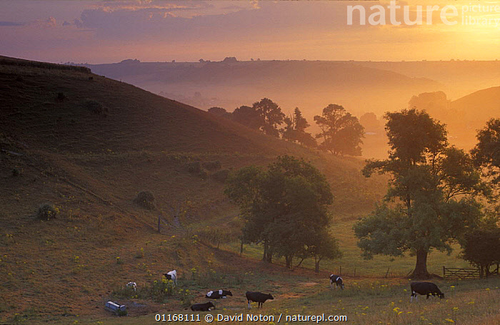 Dawn nr Cerne Abbas with cows in field, Dorset, England, UK  ,  CATTLE,COUNTRYSIDE,EUROPE,FARMLAND,HILLS,HILLSIDE,LANDSCAPES,LIVESTOCK,PEACEFUL,SUNRISE,SUNSET,TREES,UK,United Kingdom,Concepts,Plants,British,ENGLAND  ,  David Noton