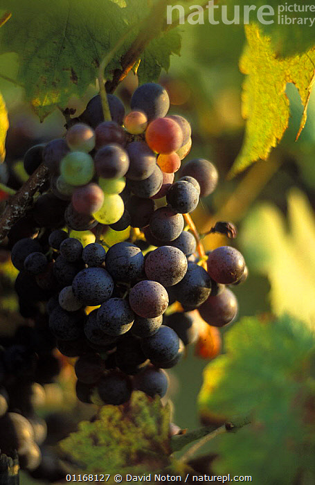 Red grapes on vine, Chianti, Tuscany, Italy  ,  CROPS,EUROPE,FRUIT,LANDSCAPES,LEAVES,VERTICAL,VINES,VINEYARD,Plants  ,  David Noton