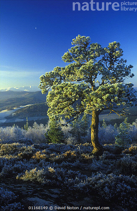Winter's morning at Craigenddaroch, nr Balater, Lochnagar in distance, Scotland, UK  ,  COUNTRYSIDE,EUROPE,FROST,LANDSCAPES,SCOTLAND,TREES,UK,VERTICAL,WINTER,United Kingdom,Weather,Plants,British  ,  David Noton