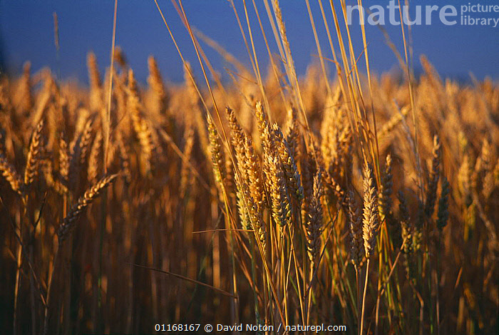 Golden barley in field, Dorset, England, UK  ,  AGRICULTURE,CROPS,EUROPE,FARMLAND,UK,United Kingdom,British,ENGLAND  ,  David Noton