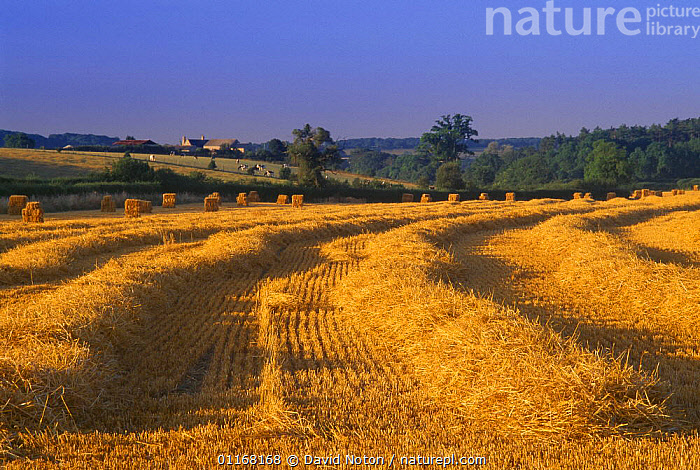 Stubble field, near Sherborne, Dorset, England, UK  ,  AGRICULTURE,AUTUMN,CROPS,EUROPE,FARMLAND,FIELDS,HARVEST,LANDSCAPES,UK,United Kingdom,British,ENGLAND  ,  David Noton