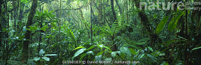 Tropical cloudforest, Santa Elena Reserve, Costa Rica  ,  CENTRAL AMERICA,FERNS,LANDSCAPES,PANORAMIC,RAINFOREST,TROPICAL,UNDERSTOREY,Plants , understory  ,  David Noton