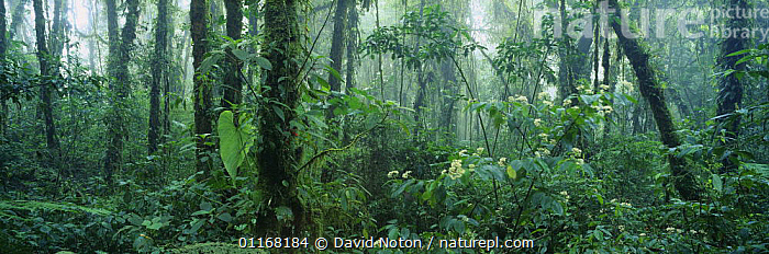 Rainforest, tropical cloud forest, Santa Elena Cloud Forest Reserve, Costa Rica  ,  CENTRAL AMERICA,LANDSCAPES,PANORAMIC,PLANTS,RAINFOREST,TREES,TROPICAL,UNDERSTOREY , understory  ,  David Noton