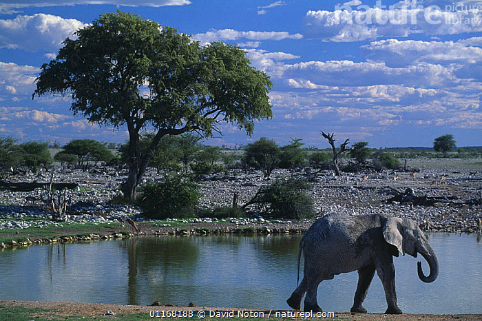 Elephant at Okaukuejo waterhole, Etosha National Park, Namibia  ,  ELEPHANTS,LANDSCAPES,NAMIBIA,RESERVE,SOUTHERN AFRICA,TREES,WATER,WATERHOLE,Plants  ,  David Noton