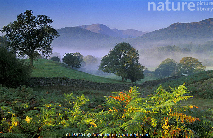 Elterwater, Langdale, Lakes District National Park, Cumbria, England, UK  ,  BRACKEN,EUROPE,FORESTS,LANDSCAPES,MIST,RESERVE,UK,WOODLANDS,United Kingdom,British,ENGLAND  ,  David Noton