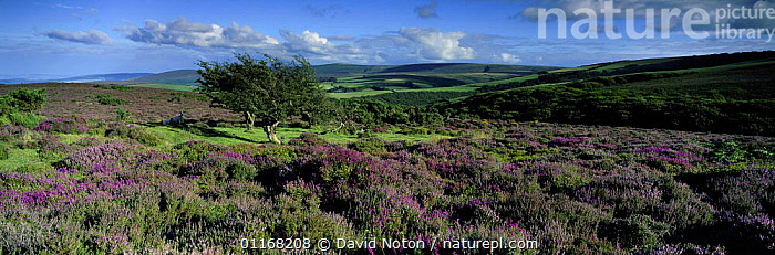 Heather on Exmoor, nr Dunkery Beacon, Exmoor National Park, Somerset, England, UK  ,  CLOUDS,COUNTRYSIDE,EUROPE,FLOWERS,HEATHERS,LANDSCAPES,PANORAMIC,UK,United Kingdom,Weather,British,ENGLAND  ,  David Noton