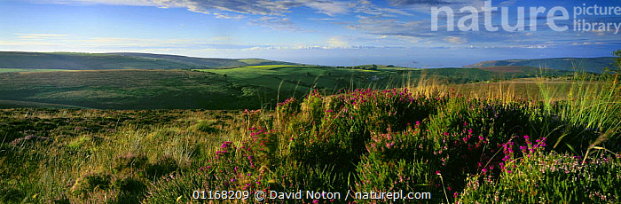 Heather on Exmoor, nr Dunkery Beacon, Exmoor National Park, Somerset, England, UK  ,  CLOUDS,COUNTRYSIDE,EUROPE,FLOWERS,GRASSES,HEATHERS,LANDSCAPES,PANORAMIC,RESERVE,UK,United Kingdom,Weather,British,ENGLAND  ,  David Noton