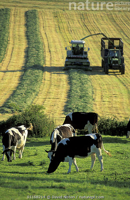 Cows in foreground with Silage harvesting behind, nr Milborne Port, Dorset, England, UK  ,  CATTLE,COUNTRYSIDE,EUROPE,FARMLAND,FIELDS,HARVESTS,LANDSCAPES,LIVESTOCK,MACHINERY,UK,VERTICAL,United Kingdom,British,ENGLAND  ,  David Noton