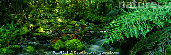 Temperate rainforest, Fjordland National Park, South Island, New Zealand  ,  FERNS,MOSS,NEW ZEALAND,PANORAMIC,SPRING,WATER,Plants  ,  David Noton